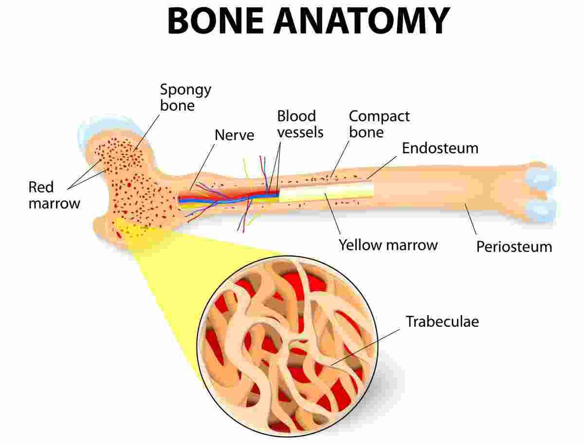 Compact and Spongy Bone - Len Academy