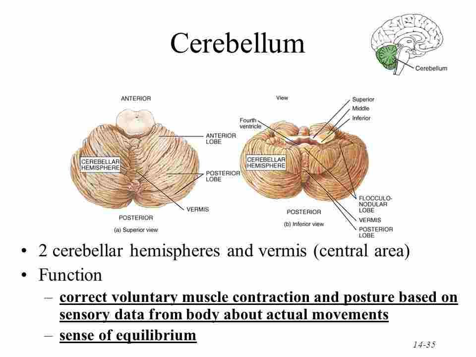 Cerebellar Hemispheres - Len Academy