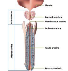 Male Urethra - Len Academy