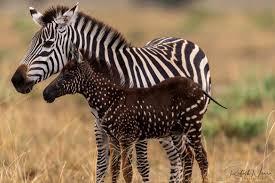 Polka-dotted zebra - Len Academy