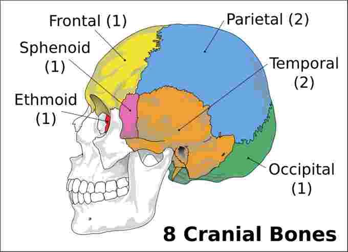 Bones of the Cranium - Len Academy