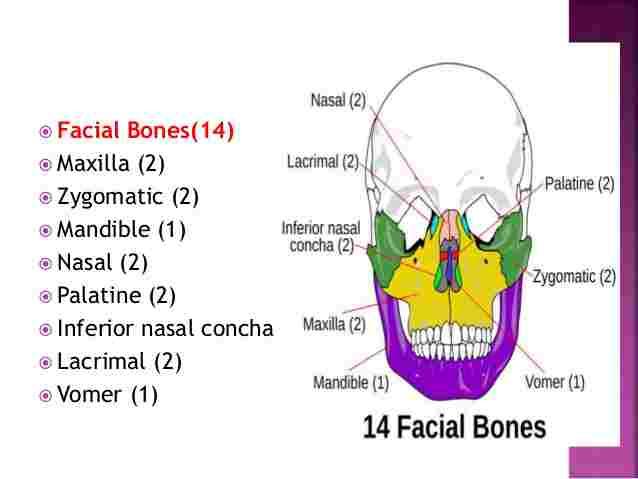 Bones of the Face - Len Academy