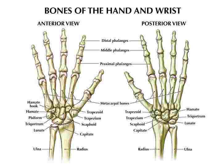 Bones of the Hands - Len Academy