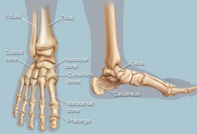 Foot Bones - Len Academy
