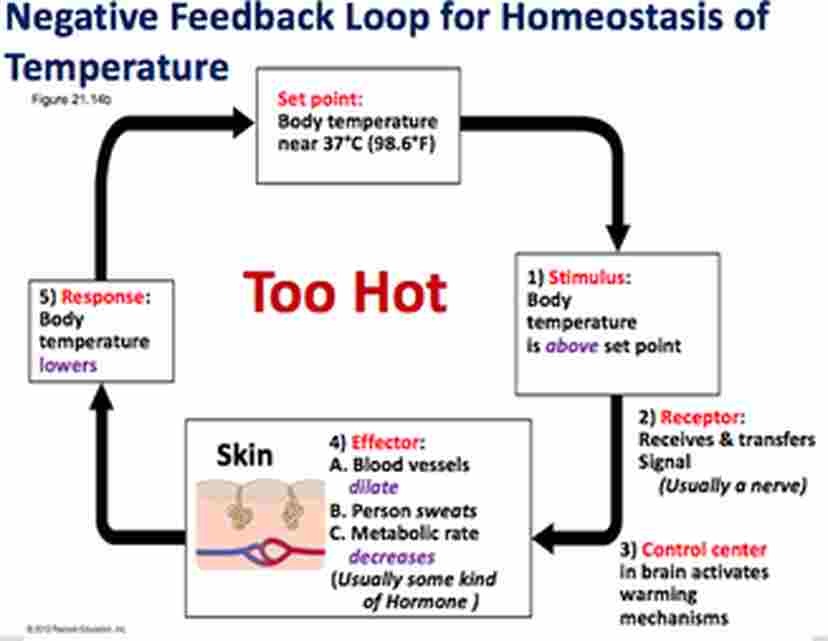 Negative Feedback Mechanism for Temperature - Len Academy