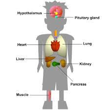 Endocrine Glands - Len Academy