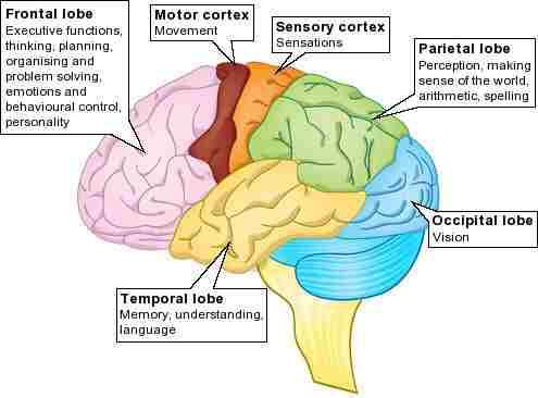 Lobes of the Cerebrum - Len Academy