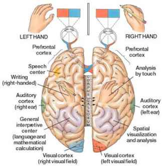Right and Left Hemisheres of the Brain with Functions - Len Academy