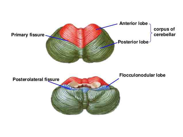 Lobes of the Cerebellum - Len Academy