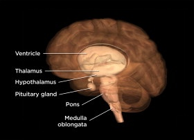 Thalamus, Hypothalamus and Pituitary Gland - Len Academy