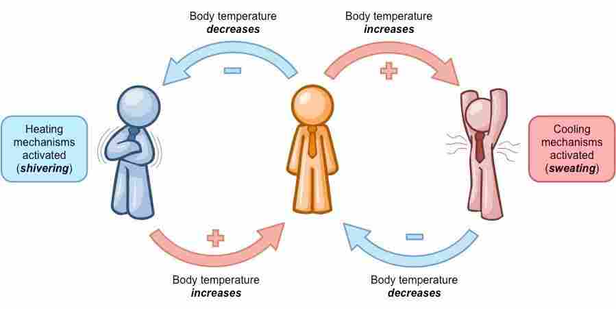 Temperature regulation in Homeostasis - Len Academy